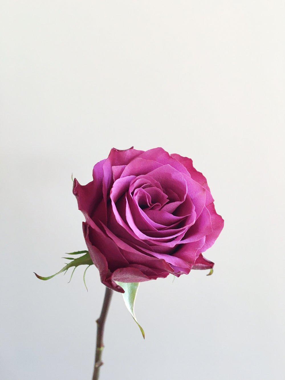 MORISCA ROSE