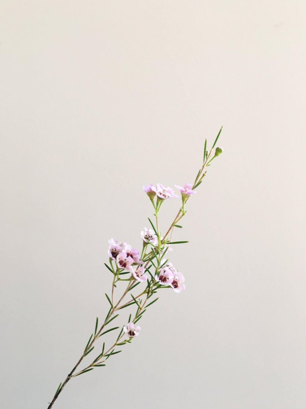 PALE PURPLE WAX FLOWER