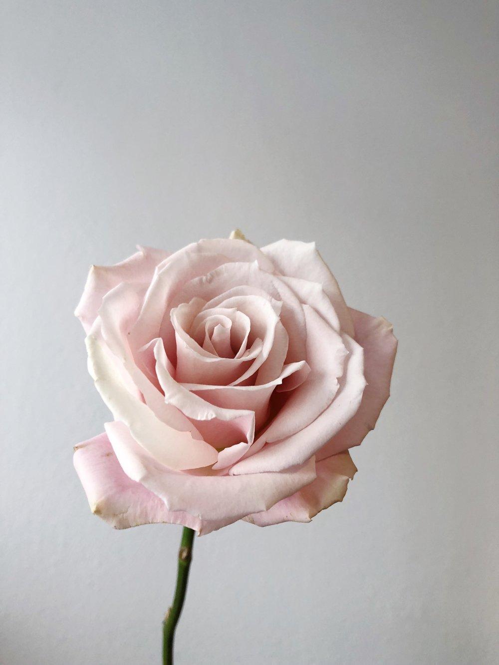 SWEET ESCIMO ROSE