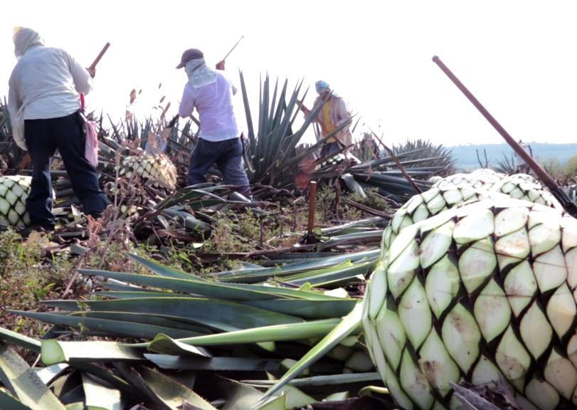 (Image: Harvesting Agave piña)