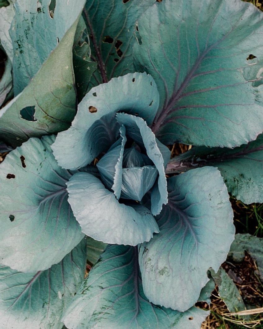 cabbage-2014-1.jpg