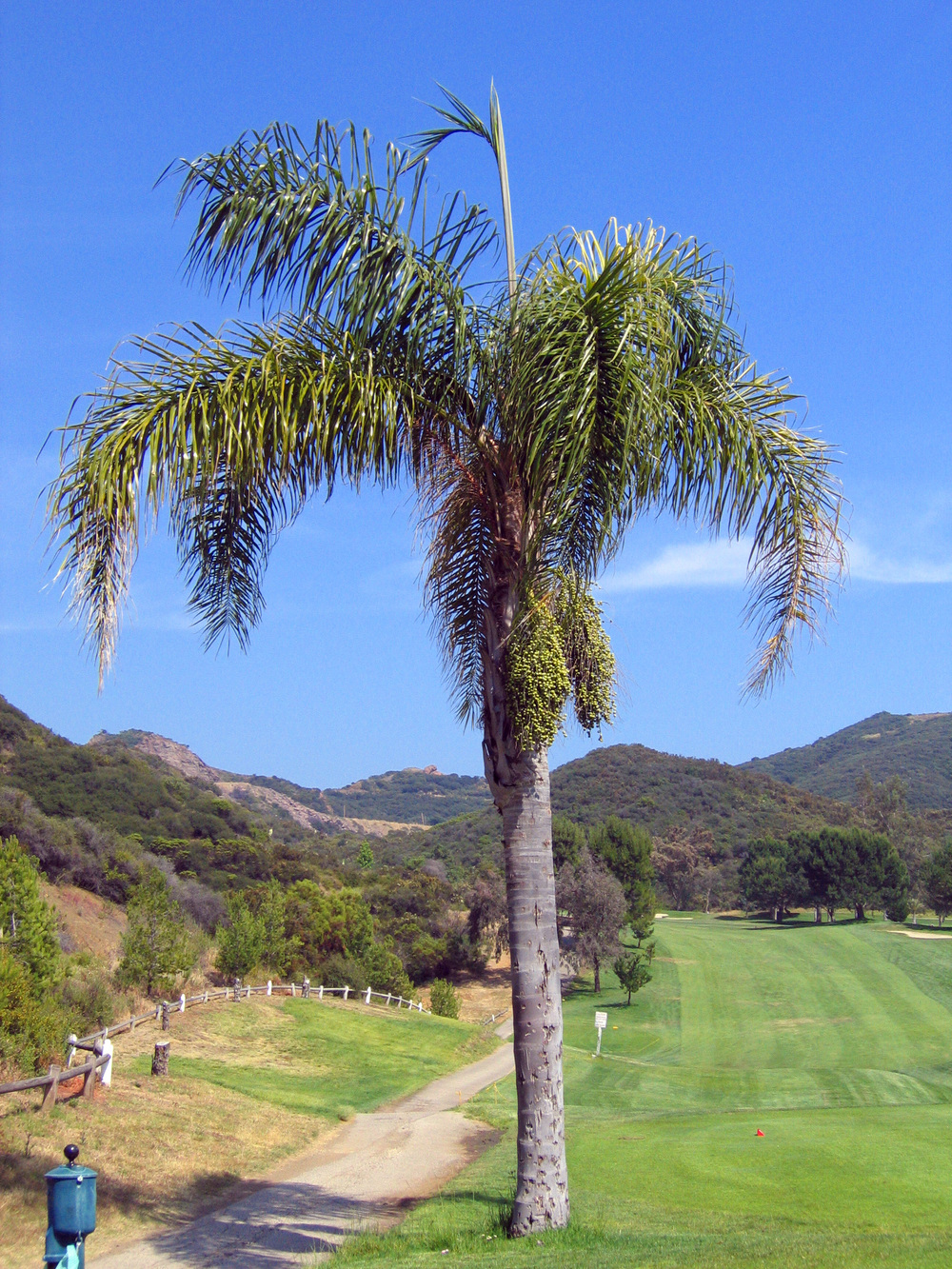 Malibu CC palm tree.JPG