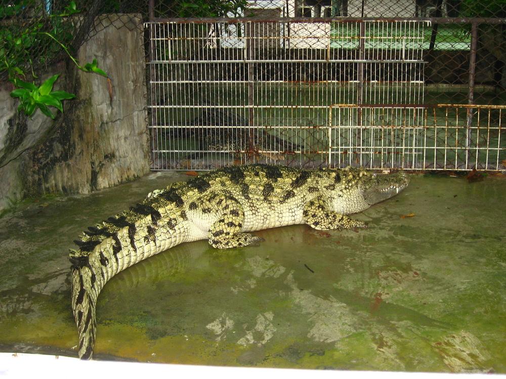 bkk-croc10.JPG