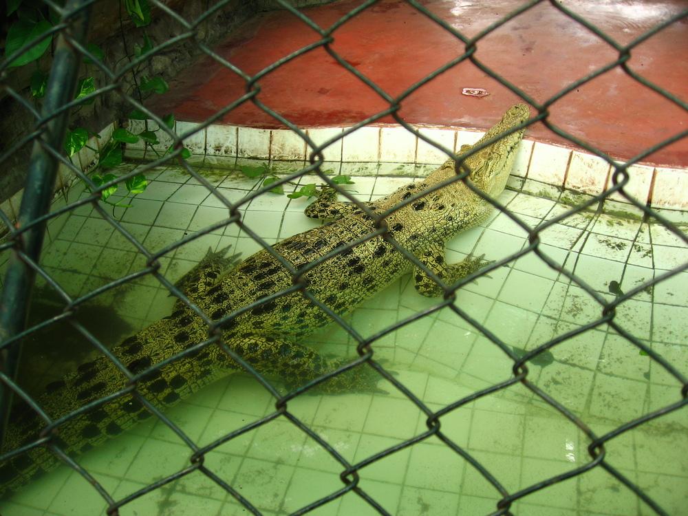 bkk-croc41.JPG