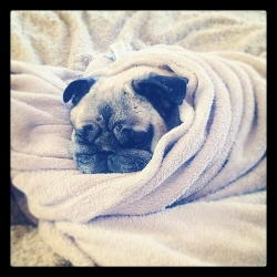 pug in a blanket.jpg