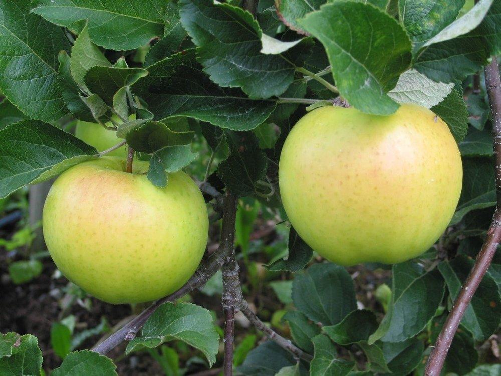 Marknadsinnovasjon med utvikling av Øya-sider som festivalsider basert på eplesorten 'Oye'. (Øya-eple).