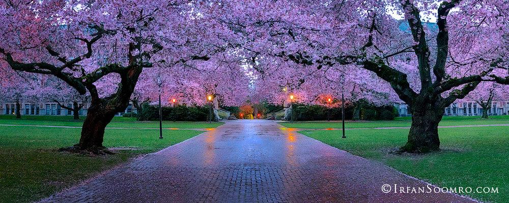 Cherry Delight - Panorama