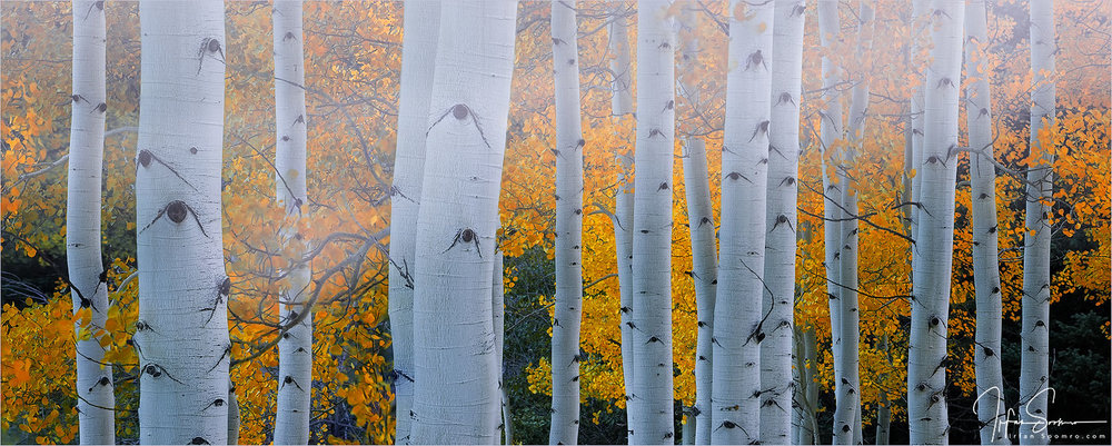 Aspens And Passing Fog - Panorama