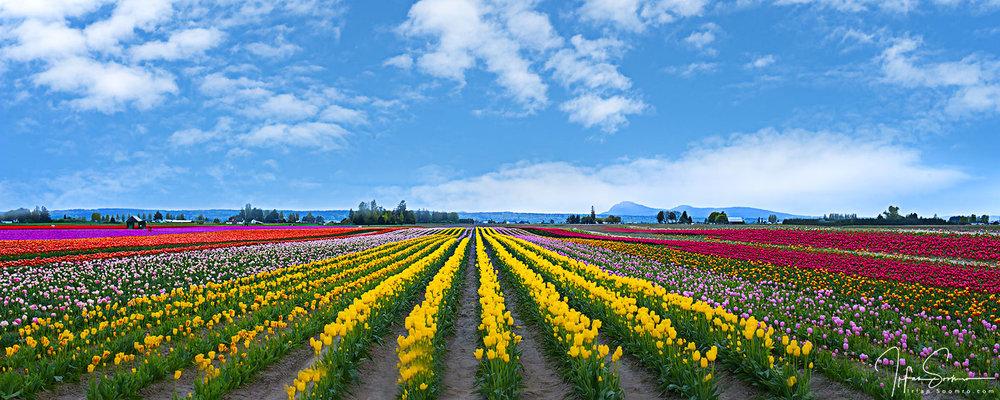 Tulips Grandeur - Panorama