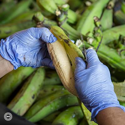 En Casajú, Juncos,pelan los plátanos diariamente.