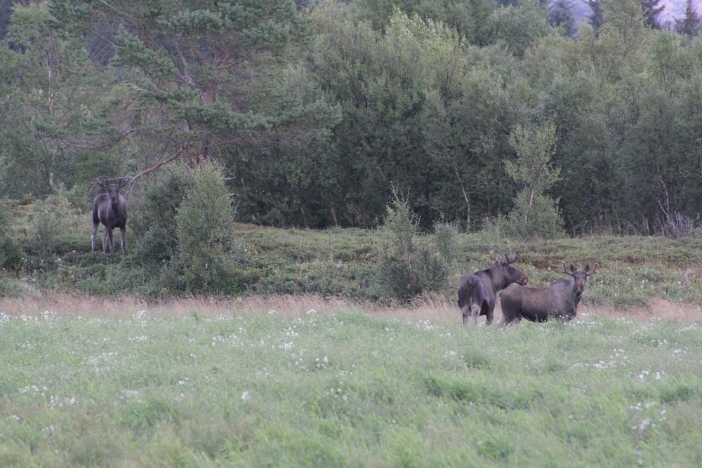 Tre elger i ettermiddagstimene på Offersøy, Tjøtta.