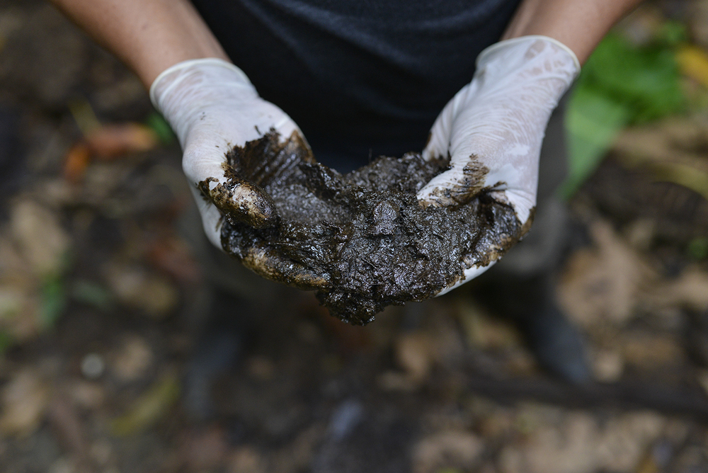 ECUADOR, Lago Agrio. December, 2015.  Donald Moncayo displays crude oil in his hands. The crude oil lays on an open waste pit left by Texaco.