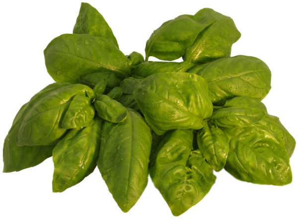 Living Italian Genovese Basil is strong in stature and rich in color.  This basil has long, lush leaves and a wonderful fragrance. Its authentic Italian flavor warms your taste buds and is ideal for creating traditional Basil Pesto.  It is also delicious in a salad, sauces or as a seasoning.
