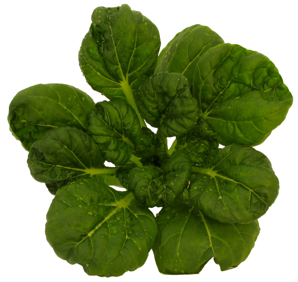 """Tatsoi has its roots in Japan and here is known as """"Asian Spinach"""" because of its similarity to familiar green. Its teacup shaped, dark green leaves are tender, buttery and high in nutritional value. Tatsoi is versatile and can be used in soups, salads and smoothies."""