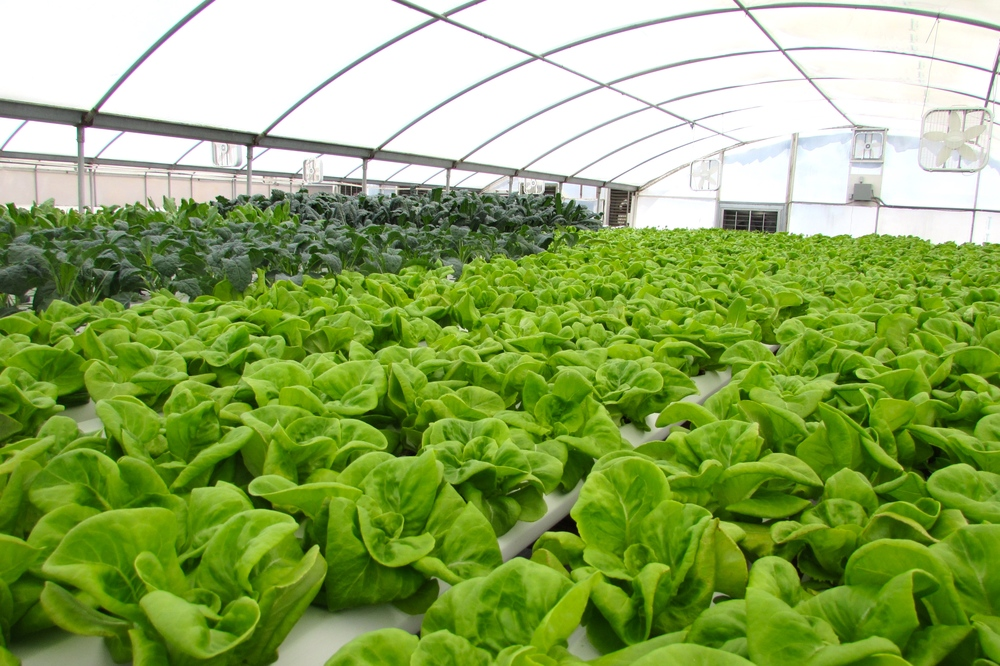 Views of inside the greenhouse with our Butter Lettuce and Kale in the foreground.