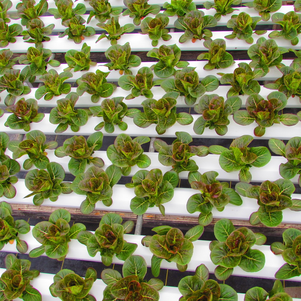 Red Romaines recently transplanted to Full Growth Channels
