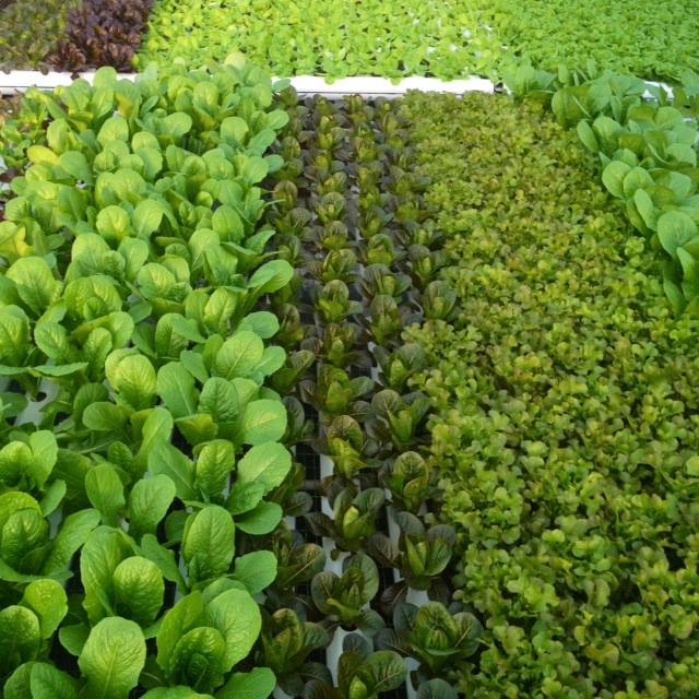 Seedlings ready to be transplanted to the intermediate stage called Nursery.