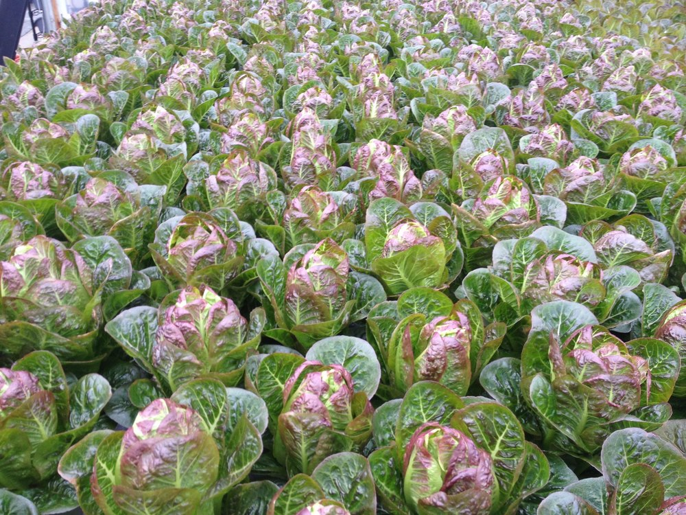 Beautifully matured Red Romaine, ready for harvest!