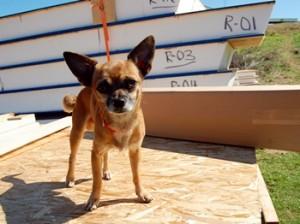 Chihuahua named Pequeno