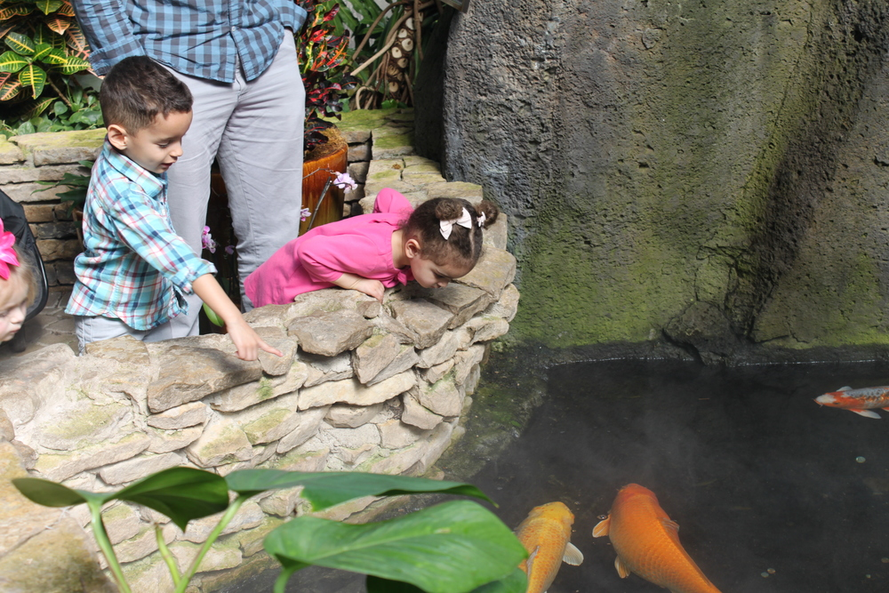 Koi fish in the Pacific Island Water Garden