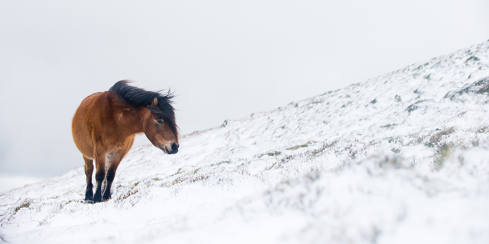 Carneddau Pony high up in the Carneddau mountains, following a night of snowfall.