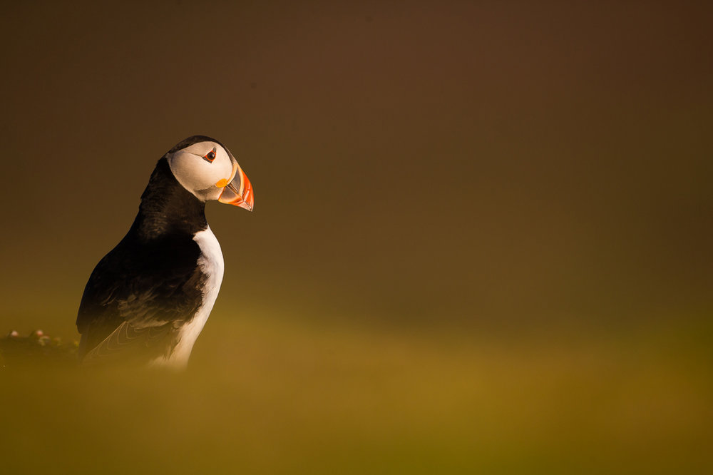 ATLANTIC PUFFIN SHOWCASE -