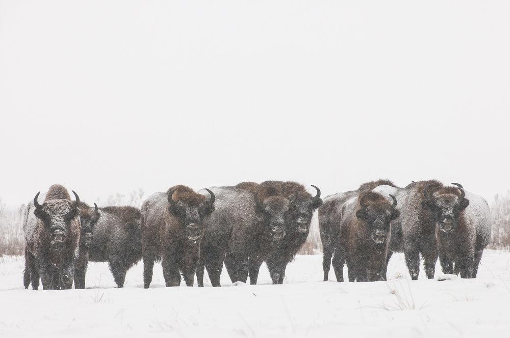 POLAND'S WINTER WILDLIFE - January 20th - 27th
