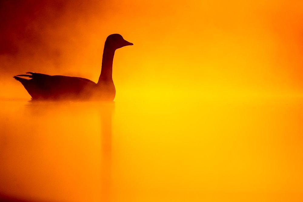canada-geese_05.jpg