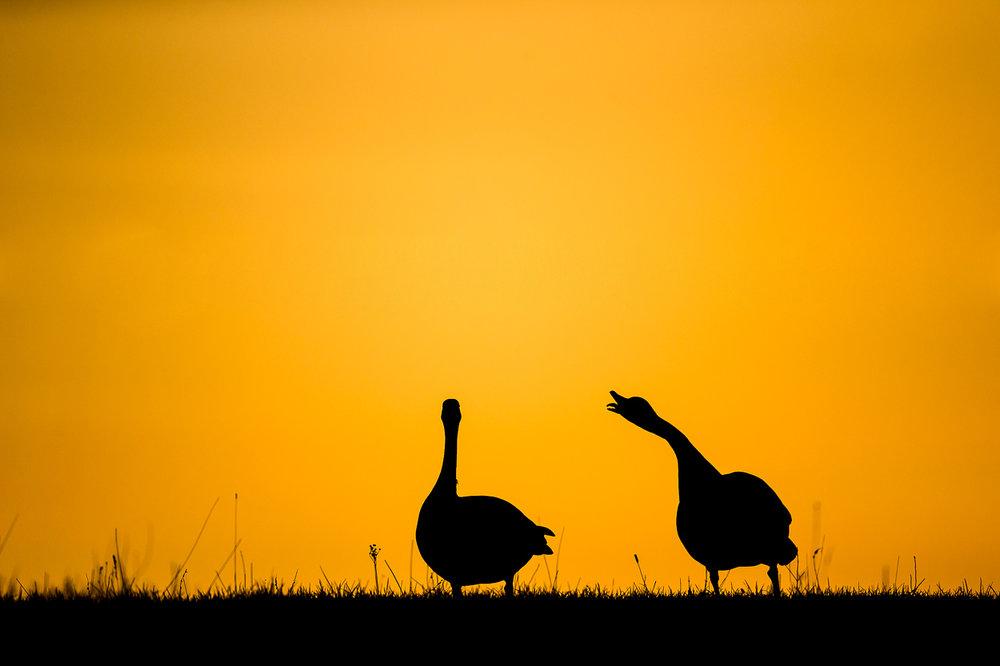 canada-geese_17.jpg