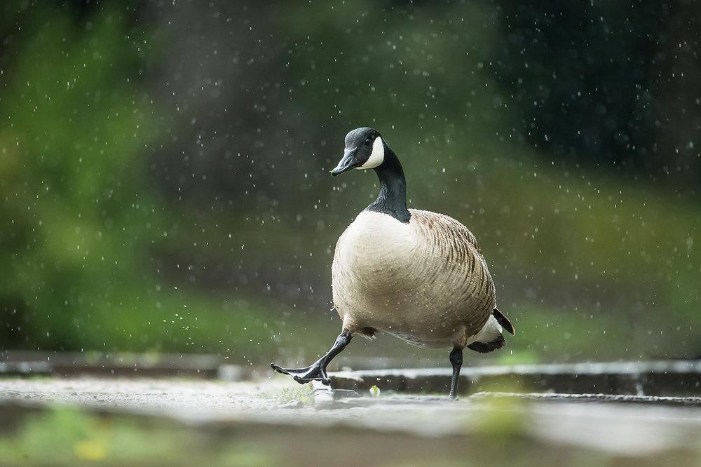 canada-geese_10.jpg
