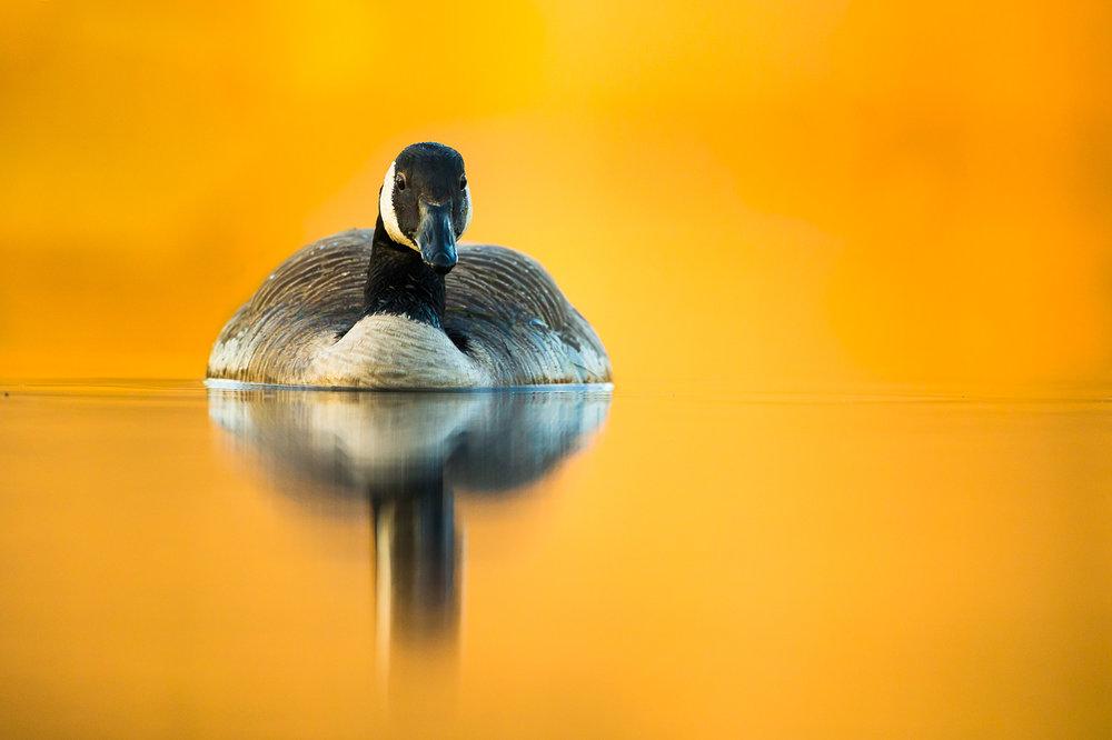 canada-geese_19.jpg