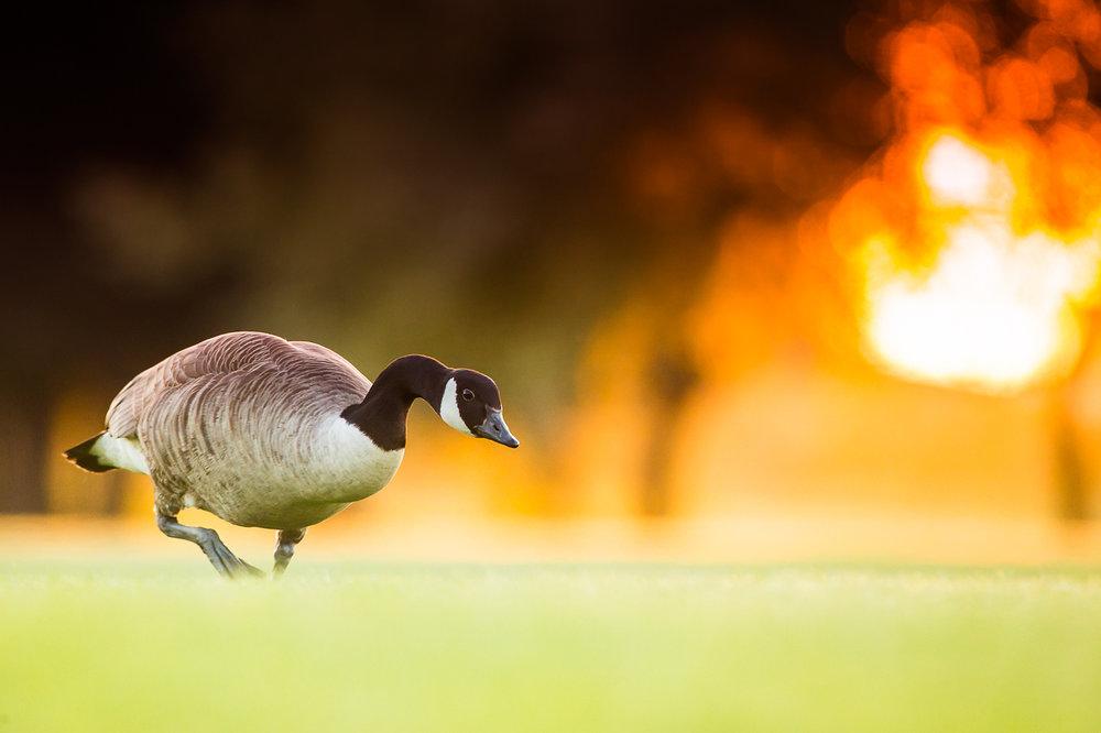 canada-geese_26.jpg