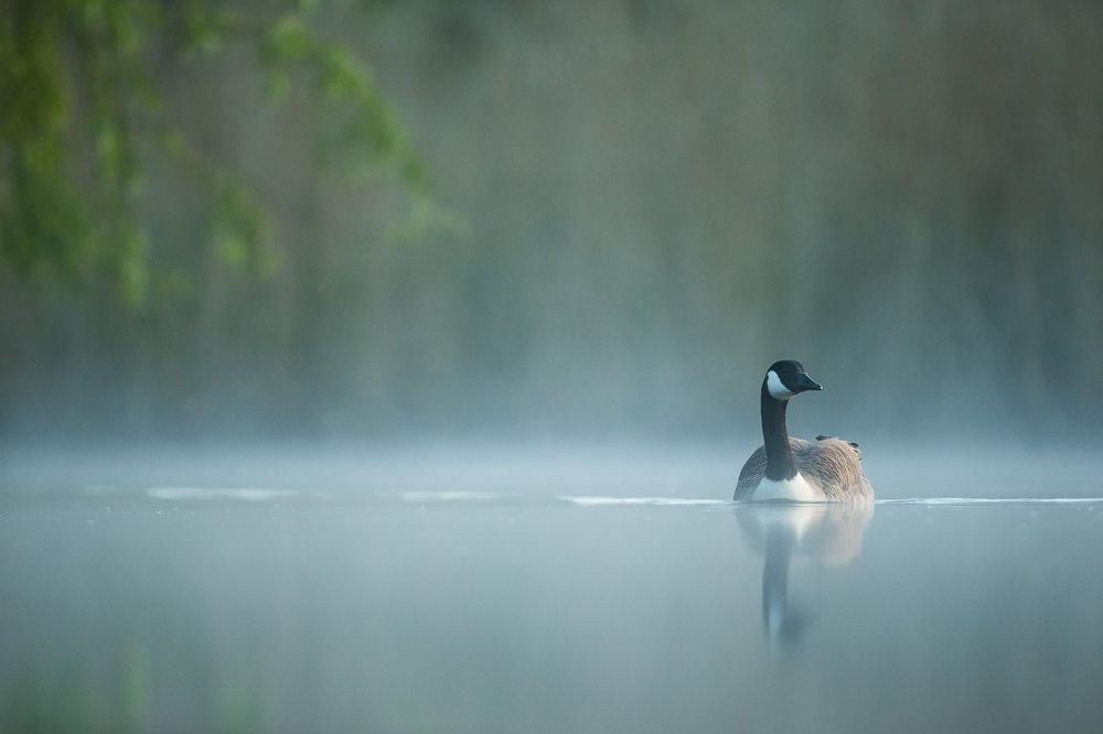 canada-geese_03.jpg