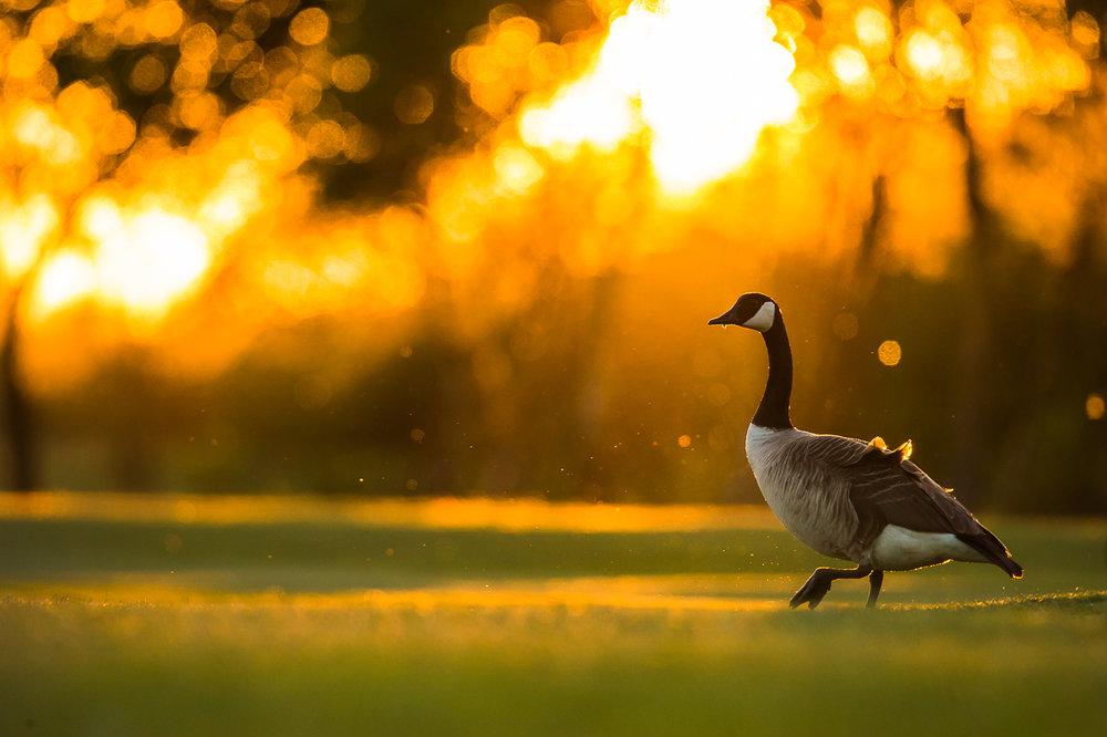 canada-geese_27.jpg