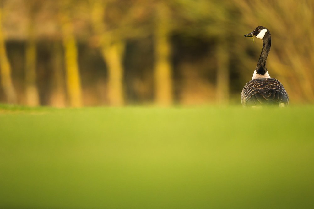 canada-geese_28.jpg