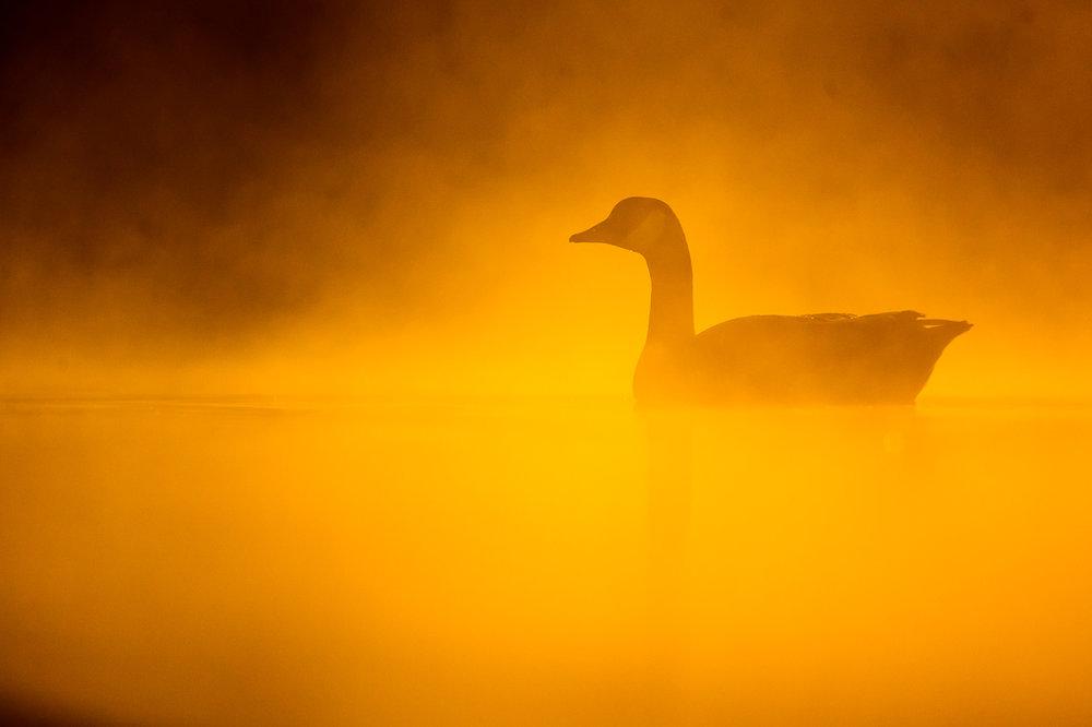 canada-geese_29.jpg