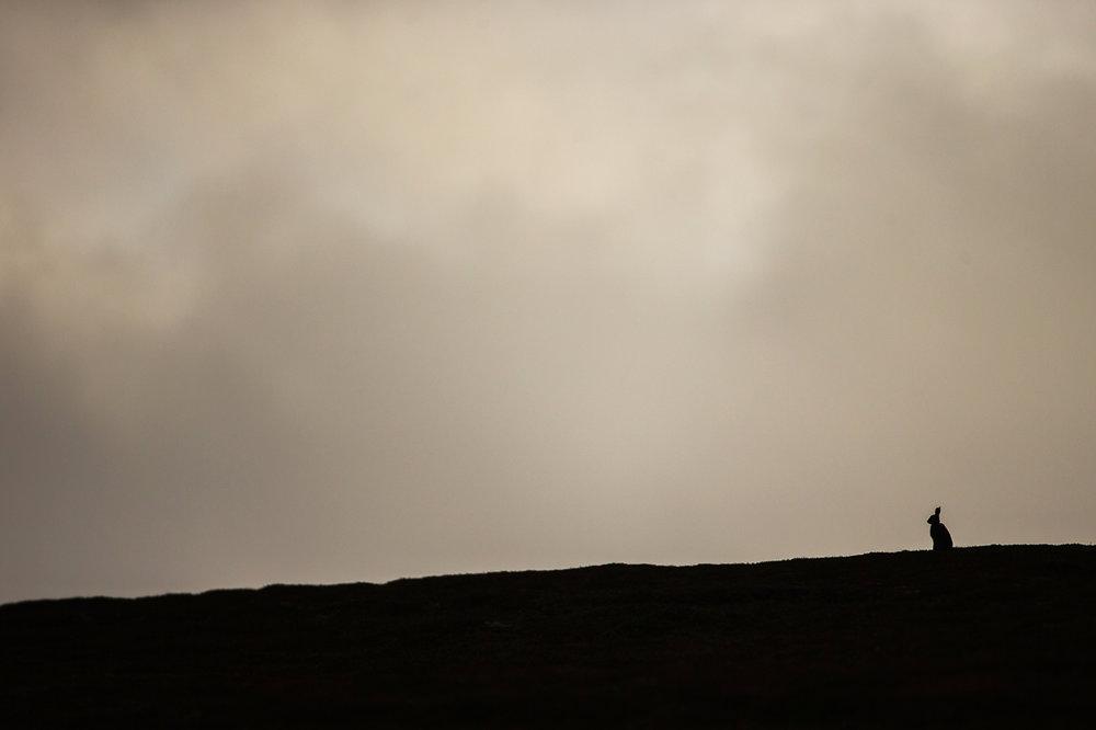Mountain_Hare_16.jpg