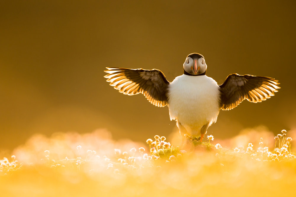 atlantic-puffin-41.jpg