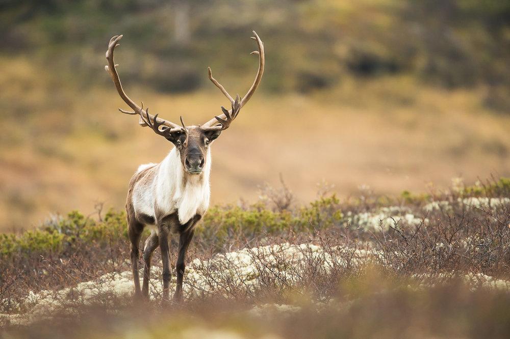 reindeer-03.jpg
