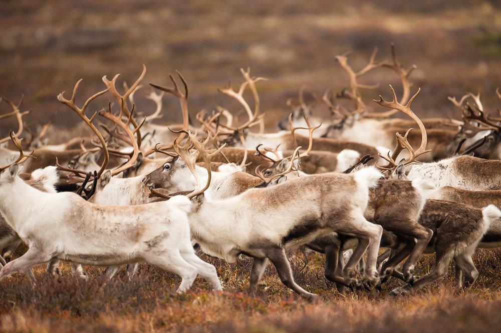 reindeer-01.jpg
