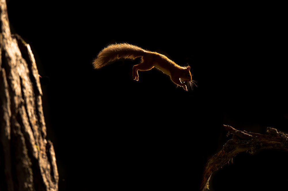Red_Squirrel-3.jpg