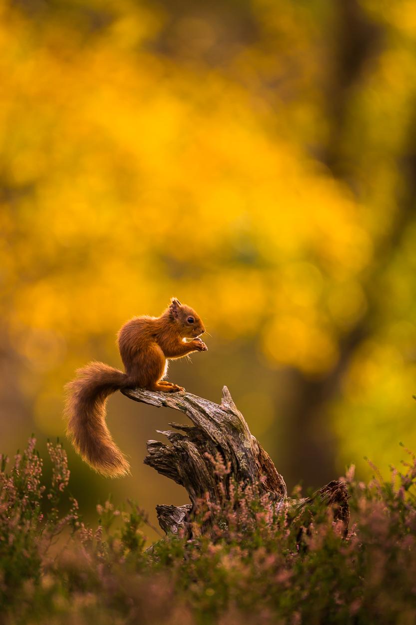 Red_Squirrel-5.jpg
