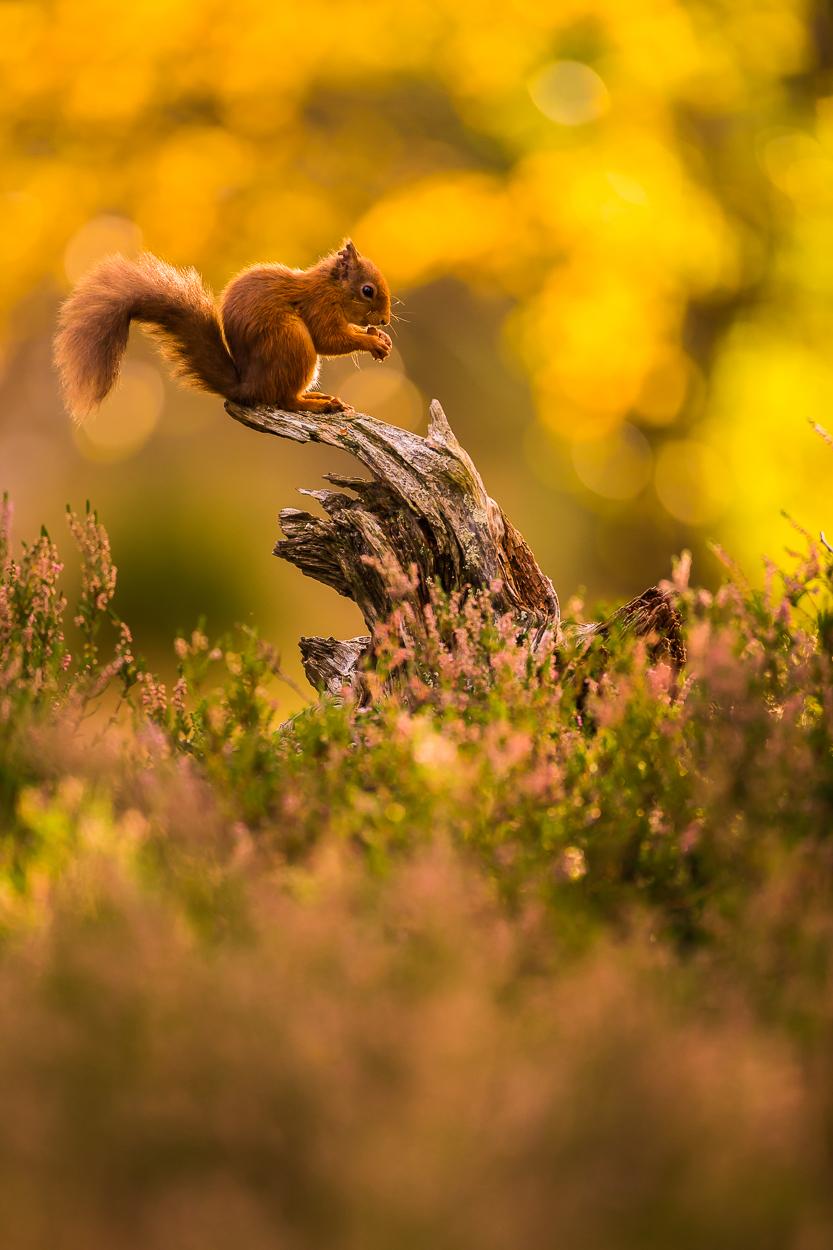 Red_Squirrel-6.jpg