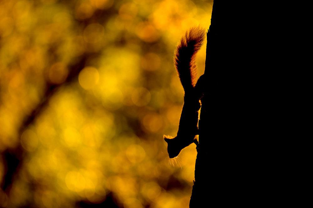 Red_Squirrel-2.jpg