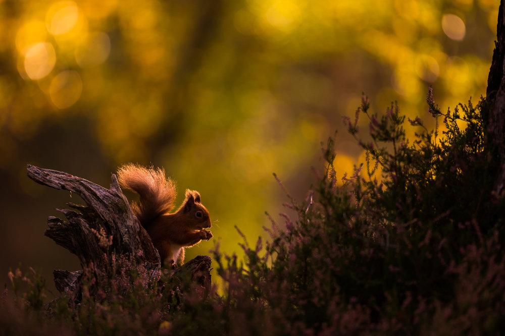 Red_Squirrel-01.jpg