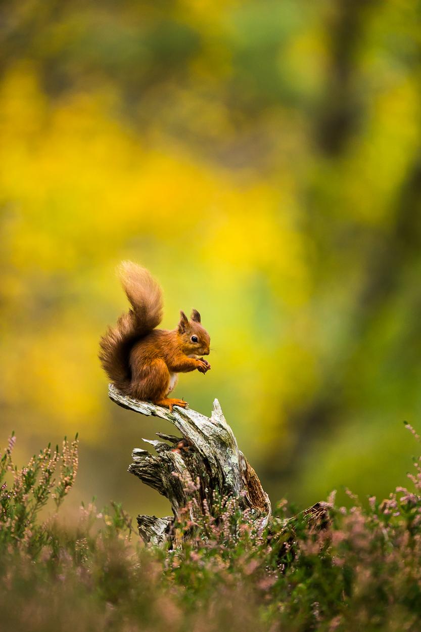 Red_Squirrel-8.jpg