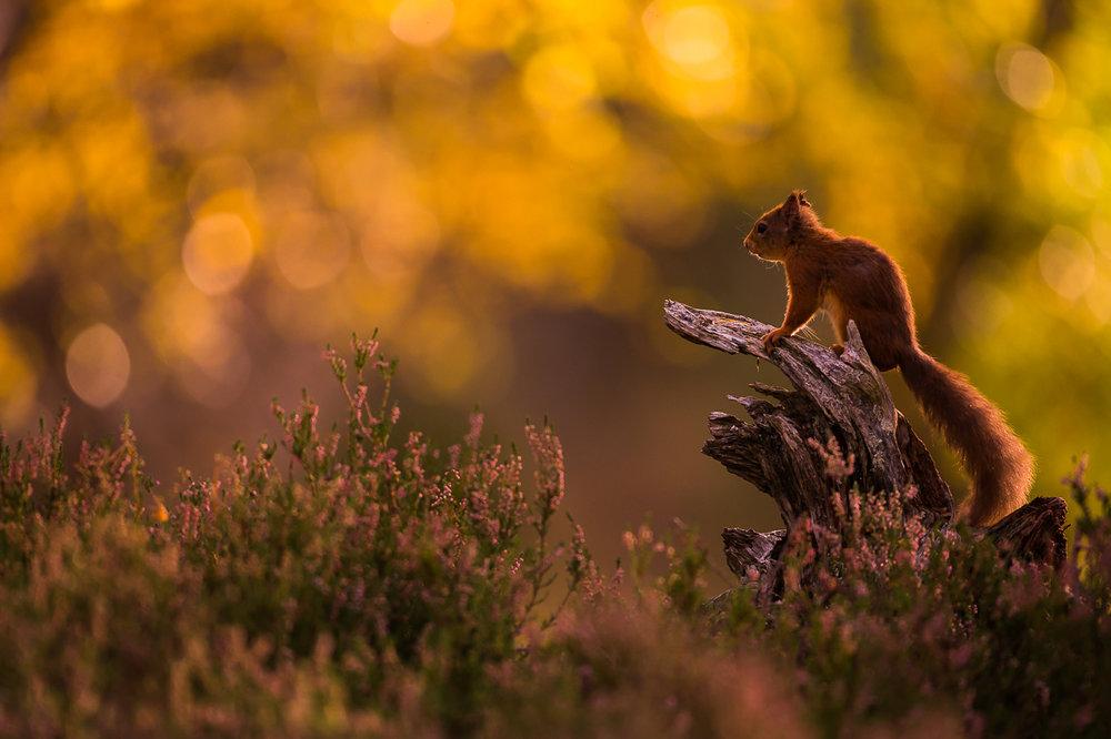 Red_Squirrel-12.jpg