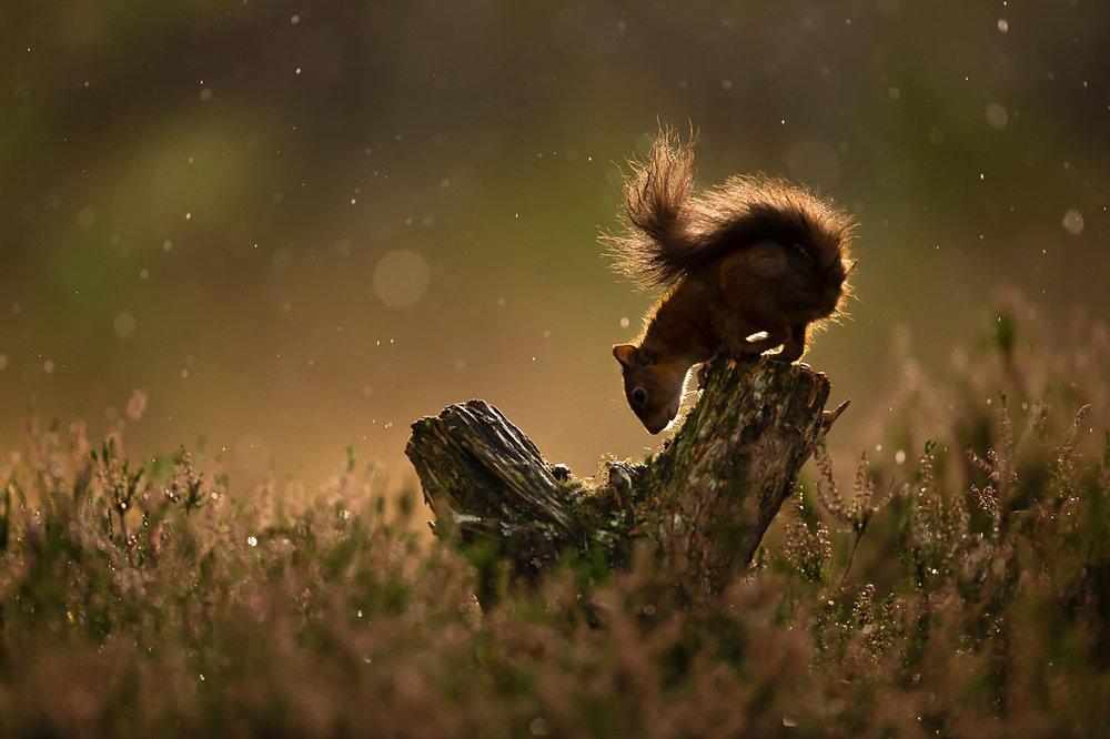 Red_Squirrel-4.jpg