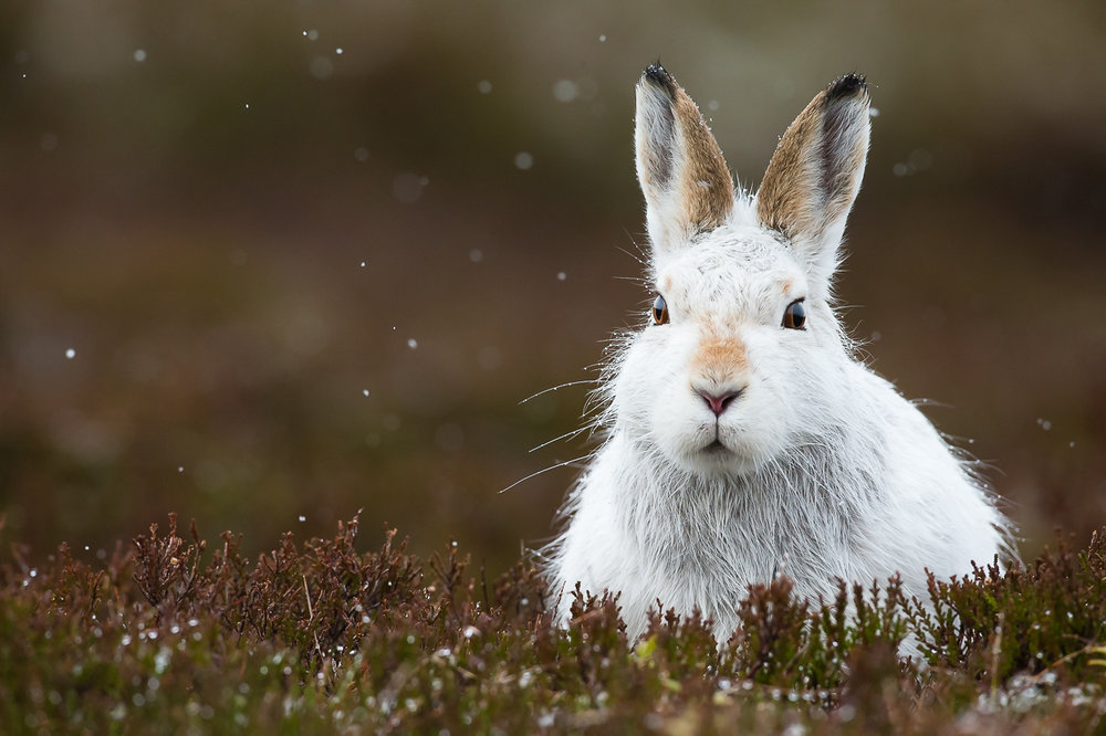 MOUNTAIN HARE WORKSHOPS - cairngorms national park17th - 25th February