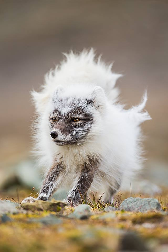 Bad Hair Day  | Runner Up | Nature Photographer Of The Year 2018 - Mammals Category